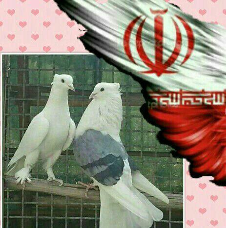 کانال ایران کبوتر