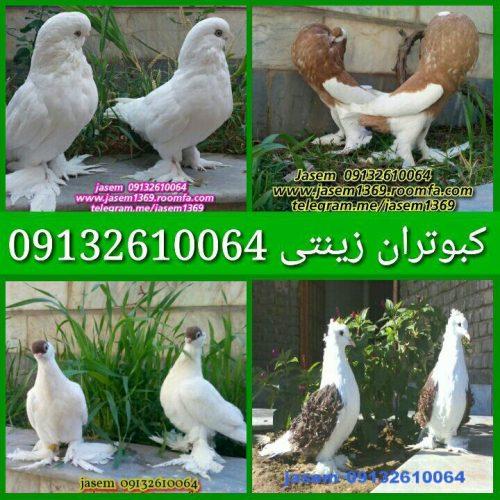 کانال پرورش و فروش کبوتران زینتی