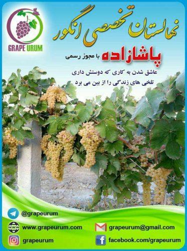 کانال تلگرام نهالستان انگور پاشازاده