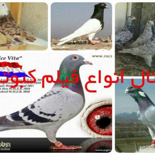 کانال تلگرام انواع فیلم کبوتر