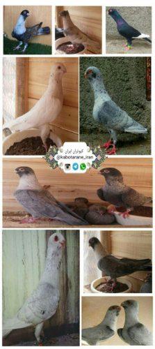 کانال تلگرام کبوتران ایران