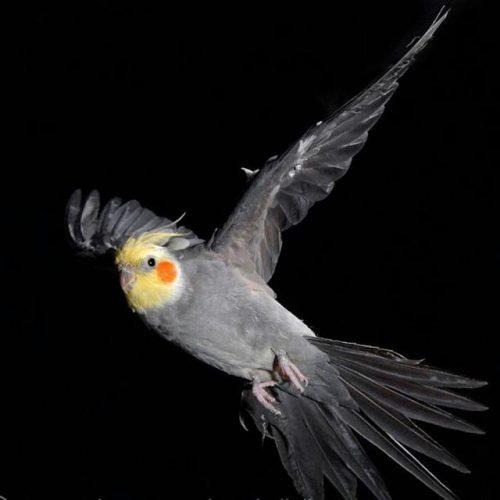 خرید وفروش طوطی عروس وانواع پرنده زینتی وحیوانات خانگی