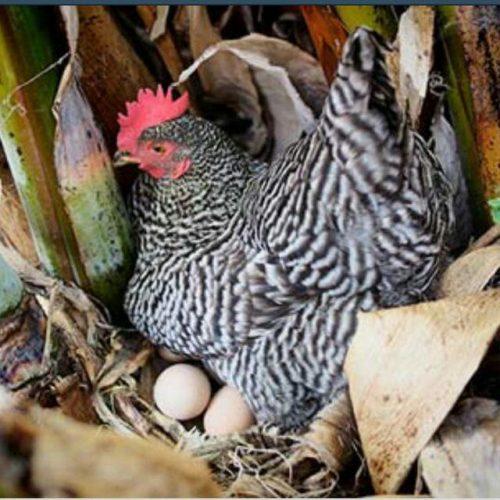 کانال پرورش مرغ بومی تخمگذار(رویان)