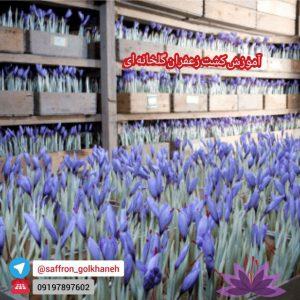 کانال زعفران گلخانه ای