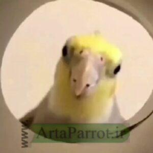 کانال ارتاپاروت 🦜 🐣 عروس هلندی _ artaparrot.ir